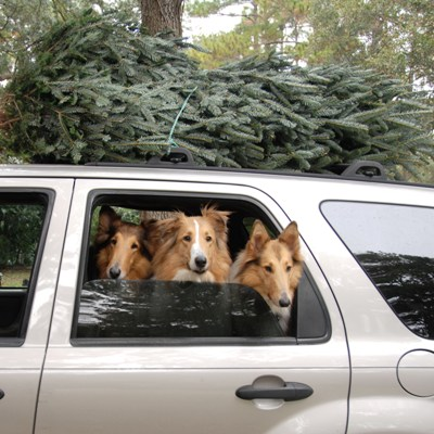 Collie Rescue of the Carolinas Christmas