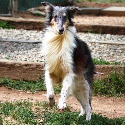 Diana White Amp Madelyn Blue Merle 171 Collie Rescue Of The Carolinas